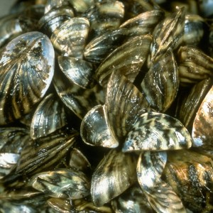 The invasive zebra mussel Dreissena polymorpha