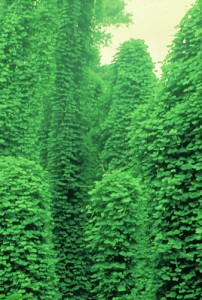 kudzu_infestation_in_summer