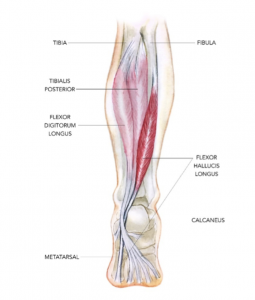 The posterior view of the FHL in the right leg, taken from Sports Injury Bulletin