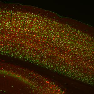 neuN-PV cortex